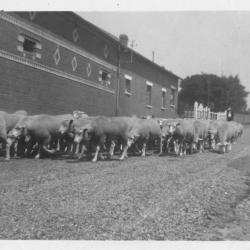 Moutons Grande rue de Falvy