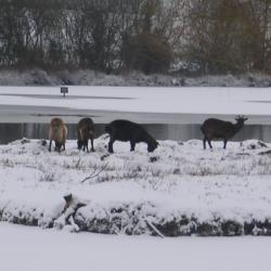 Chèvres dans les marais