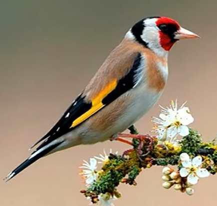 Je suis l'un des plus colorés de tous les oiseaux du jardin, je suis  :