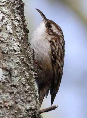 On me reconnaît facilement avec mon bec long et arqué me permettant de fouiner sous les écorces des arbres en quête de petits insectes, je suis :