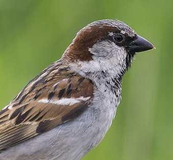 Quel est cet oiseau très souvent observable dans les jardins ?