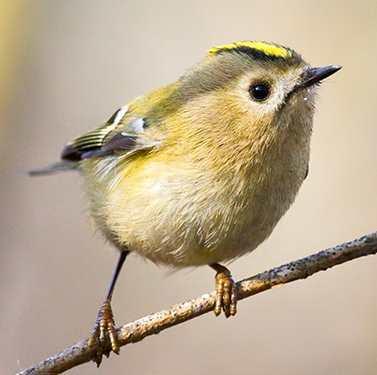 Très actif, je suis le plus petit oiseau d'Europe, je suis :